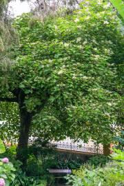 Aleurites moluccana – Árbol candil