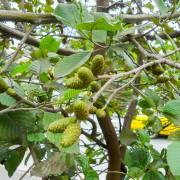 Alnus acuminata – Anden-Erle