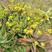 Aloe chrysostachys