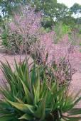 Aloe classenii
