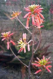 Aloe duckeri