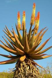 Aloe candelabrum – Transkei Bitteraloe