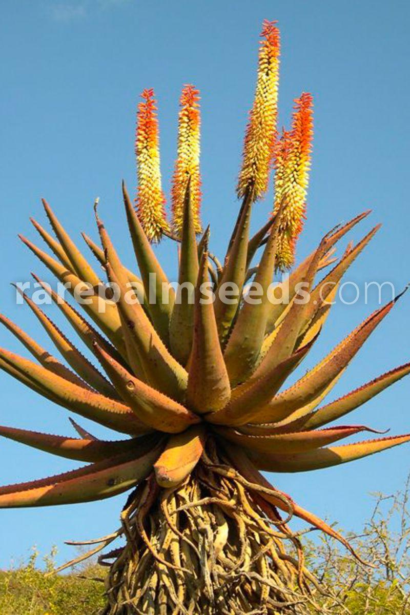 cacti succulents 10 seeds of Aloe castanea succulents seed R