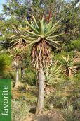 Aloe ferox – Bitter Aloe, Red Aloe