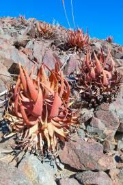 Aloe gariepensis – Aloe del Rio Gariep