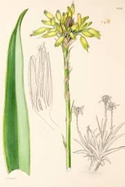 Aloe kraussii