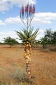 Aloe littoralis – Mopane-Aloe
