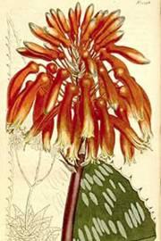 Aloe maculata 'Robusta' – Aloe saponario