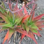 Aloe mandotoensis