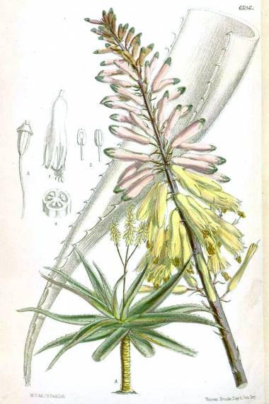 Aloe perryi – Perry's Aloe, Socotrine Aloe