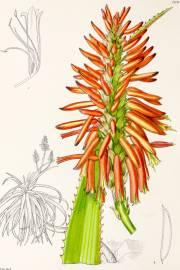 Aloe pluridens – Französische Aloe