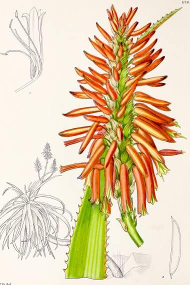 Aloe pluridens – French Aloe