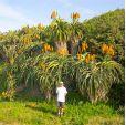 Aloe thraskii – Strandaloe