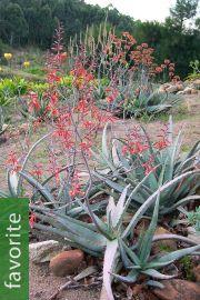 Aloe tulearensis – Toliara Aloe