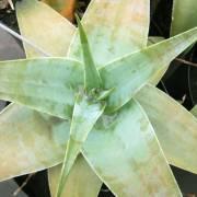 Aloe viguieri