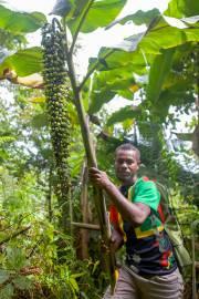 Alpinia laxisecunda – Guadalcanal Giant Ginger