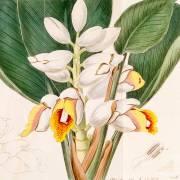 Alpinia malaccensis
