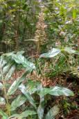 Alpinia nigra