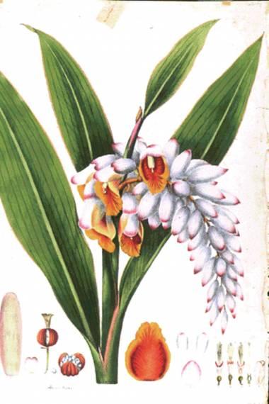 Alpinia nutans – Perla de oriente