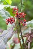 Alpinia pulchra