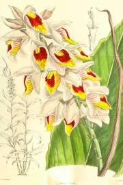 Alpinia roxburghii