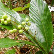 Alpinia sp. 'Borneo'