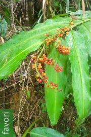 Alpinia ssp. 'Samar Mix'