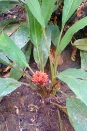 Alpinia sp. 'Sayal'