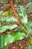 Alpinia ssp. 'Vietnam Mix'