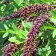 Amorpha fruticosa – Scheinindigo, Bleibusch