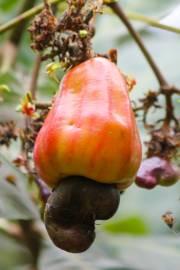 Anacardium occidentale – Cashew