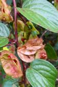 Anchietea frangulifolia