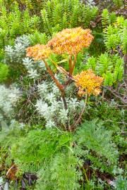 Anisotome haastii – Haast's Carrot