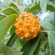 Annona bahiensis