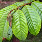 Annona cherimolioides