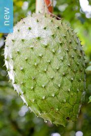 Annona muricata – Soursop, Graviola