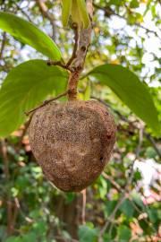 Annona reticulata – Wild Sweetsop