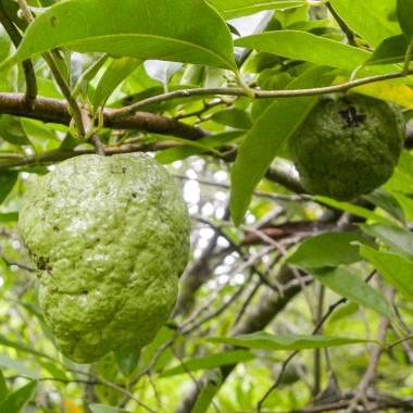 10 seed Barking deer/'s mango,Wild almond,Irvingia malayana Oliv herb forest rare