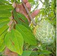 Annona squamosa – Sugar Apple, Sweetsop