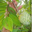 Annona squamosa – Anona blanca, saramuyo, riñón