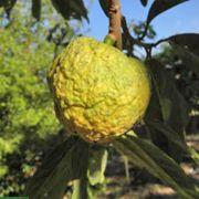 Annona ubatubensis – Aratimoia