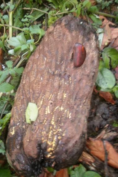 Anonidium mannii – Junglesop