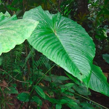 Anthurium sp. 'Via Cueva'