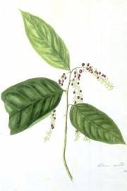Antidesma montanum var. montanum – Mountain Currant Tree