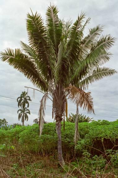 Aphandra natalia – Tagua Palm