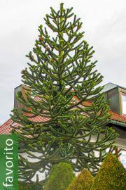 Araucaria araucana – Pehuén, Pino de Brazos, cola de mono, SOLO UE