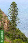 Araucaria luxurians – Araucaria de la costa
