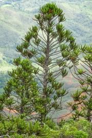 Araucaria muelleri – King Araucaria