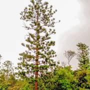 Araucaria nemorosa – Port Boise Araucaria