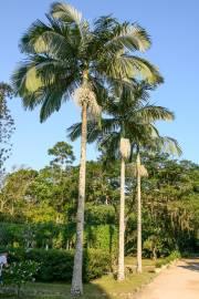 Archontophoenix alexandrae – King Palm